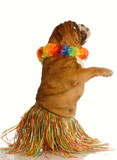 english bulldog dressed as a hula dancer
