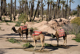 Three camels waiting for tourists in Marrakech, Morocco poster