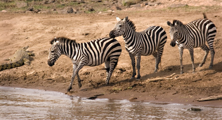 Zebras at Mara River