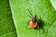 Tick on leaf. Ixodes ricinus. - 10898276