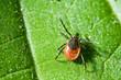 canvas print picture - Tick on leaf. Ixodes ricinus.