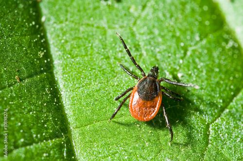 Tick on leaf. Ixodes ricinus. - 10898276