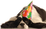 american cocker spaniel wearing colorful birthday hat poster