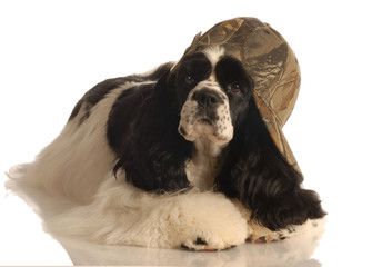american cocker spaniel with camouflage ball cap