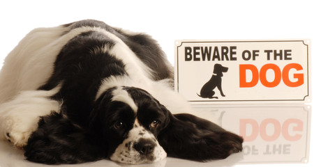 cute american cocker spaniel with beware of dog sign