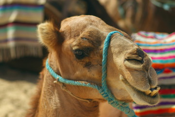 portrait of african camel