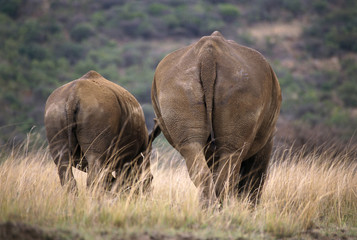 Two rhinoceros from behind.