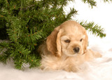 cocker spaniel puppy laying down under  tree in the snow poster