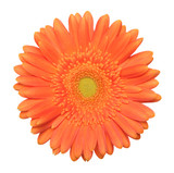 Single gerbera on a white background