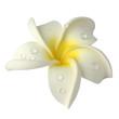 gouttes d'eau sur fleur blanche de frangipanier détourée