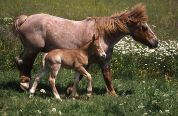cheval de trait breton et son poulain
