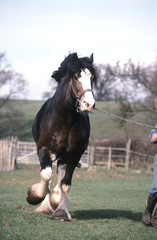 cheval de trait clydesdale en course de face