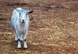 farm goat poster