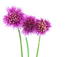 Flowering Chives 2
