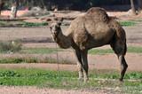 Camel in Marrakech, Morocco poster