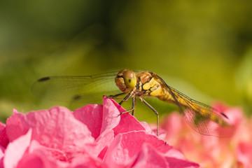 Dragonfly on hortensia