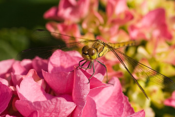 Dragonfly on pink hortensia