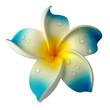 fleur bleue de frangipanier sur fond blanc
