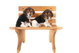 Beagle puppies on a bench poster