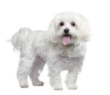 maltese dog (4 years) poster