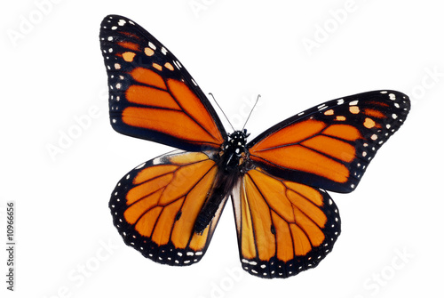 Deurstickers Vlinder Isolated Monarch Butterfly