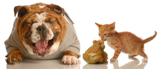 english bulldog laughing at small kitten kissing a toad