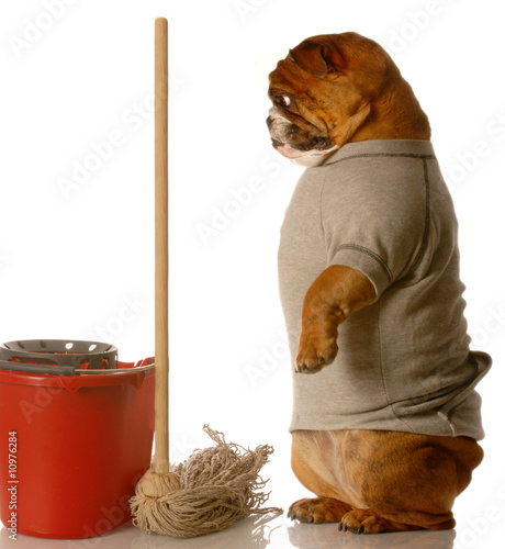 english bulldog standing up beside mop and bucket - janitor