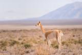 Vicuna (Vicugna vicugna) Camelid from South America poster