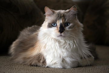 dilute calico kitty