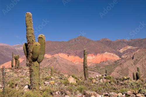 Pasacana Cactus (Trichocereus pasacana) w północnej Argentynie