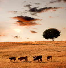 Group calves going through field with tree oak to sunset