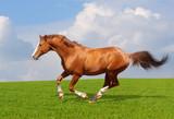 Sorrel trakehner stallion poster