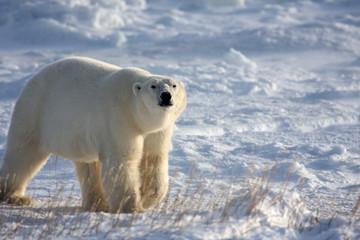 Classic polar bear in the arctic snow near Hudson Bay