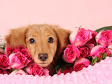 Valentine puppy surrounded by roses.