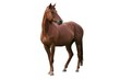 canvas print picture - Brown Horse Isolated