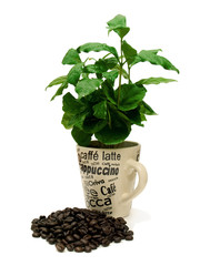 Coffee Plant With Coffee Beans 01