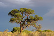 African landscape with tree (Acacia erioloba), South Africa