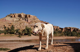 White dog and casbah Ait Benhaddou in background, Morocco poster