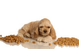 cocker spaniel puppy surrounded by dog food or kibble poster