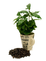 Coffee Plant With Coffee Beans 02