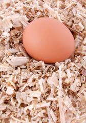 egg laying on sawdust