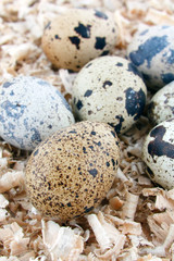 motley eggs at nest