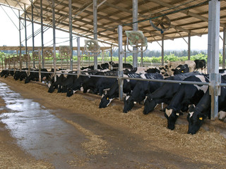 Modern cowshed with cows