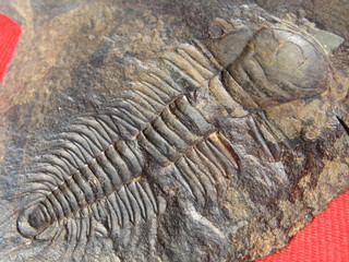 500 Million-Years-Old Trilobite / Paradoxides Gracilis