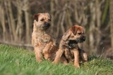 eux border terrier surpris par du bruit