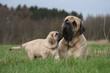 le bisou du chiot mastiff et sa mère