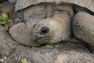 Tortue Aldabra de l'ile Rodrigues