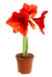 Hippeastrum intiflorum in pot