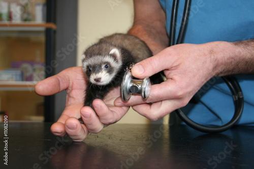 l'auscultation du furet au stetoscope