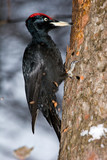 Black woodpecker (Dryocopus martius) - Fine Art prints